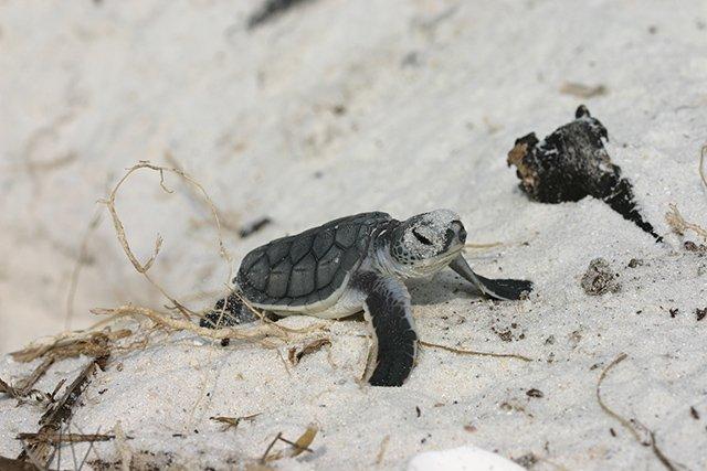 Keewaydin Island turtle hatchling