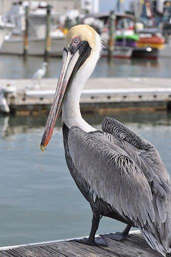 Pelican in Naples