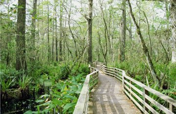 corkscrew swamp path