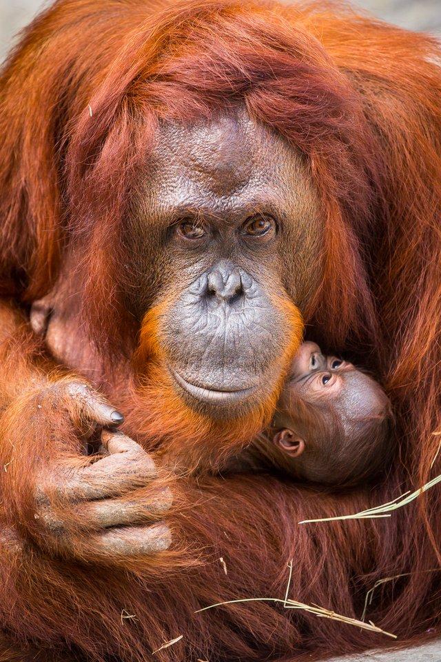 Tampa Orangutan
