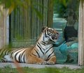 tiger at glass at naples zoo