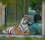 tiger at glass at naples zoo