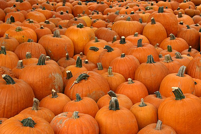 sea of pumpkins