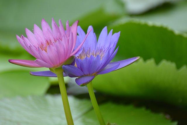naples botanical gardens lotus