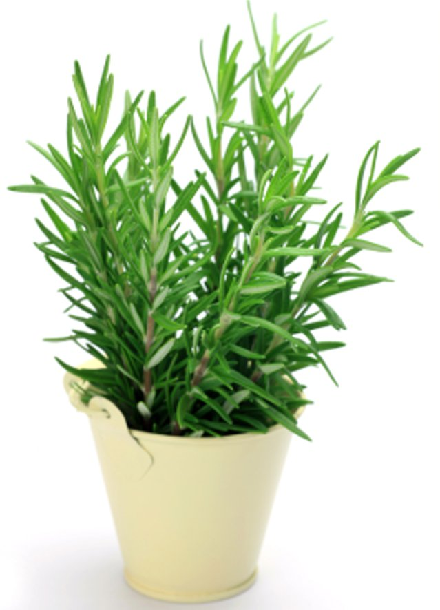 Rosemary Improving Memory One Sprig At A Time Neafamily Com